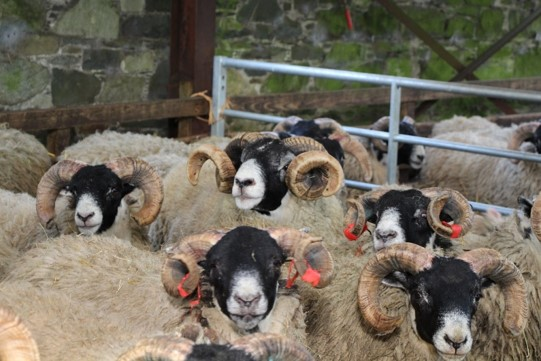 VitDAL highlights rickets is a health concern in hill sheep